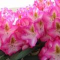 Rhododendron Hybride 'Campanile'