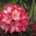 Rhododendron Hybride 'Chorus Line'