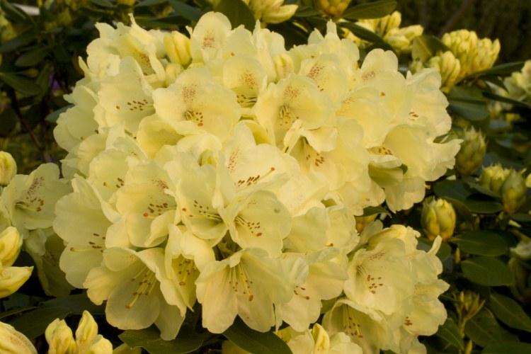 rhododendron hybride 39 goldkrone 39 baumschule nielsen. Black Bedroom Furniture Sets. Home Design Ideas