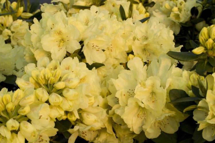 rhododendron hybride goldkrone reingelb baumschule nielsen. Black Bedroom Furniture Sets. Home Design Ideas