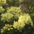 Rhododendron Hybride 'Goldkrone'