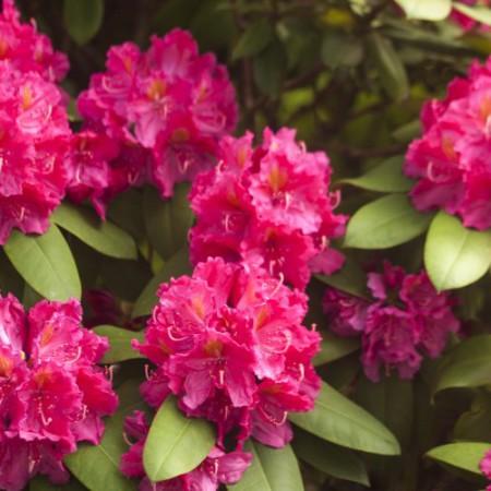 Rhododendron Hybride 'Kirsten Begeer'
