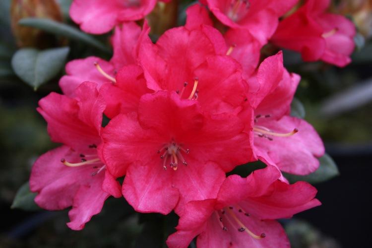 rhododendron yakushimanum 39 lampion 39 rot baumschule nielsen. Black Bedroom Furniture Sets. Home Design Ideas