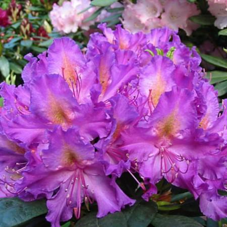Rhododendron Hybr. 'Libretto'