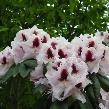 Rhododendron Hybr. 'Marsalla'