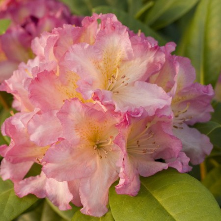 Rhododendron Hybr. 'Melidioso'