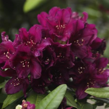 Rhododendron Hybr. 'Polarnacht'