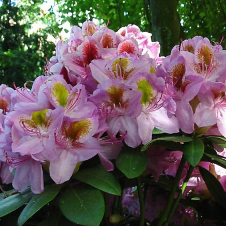 Rhododendron Hybr. 'Puccini'