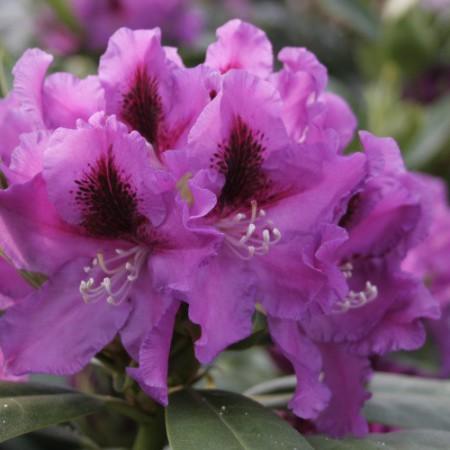 Rhododendron Hybr. 'Rasputin'