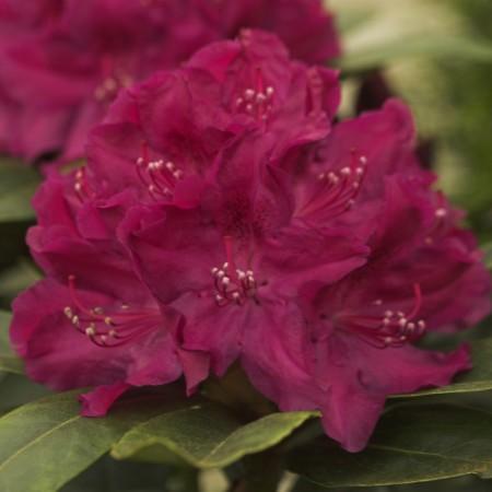 Rhododendron Hybr. 'Roland'