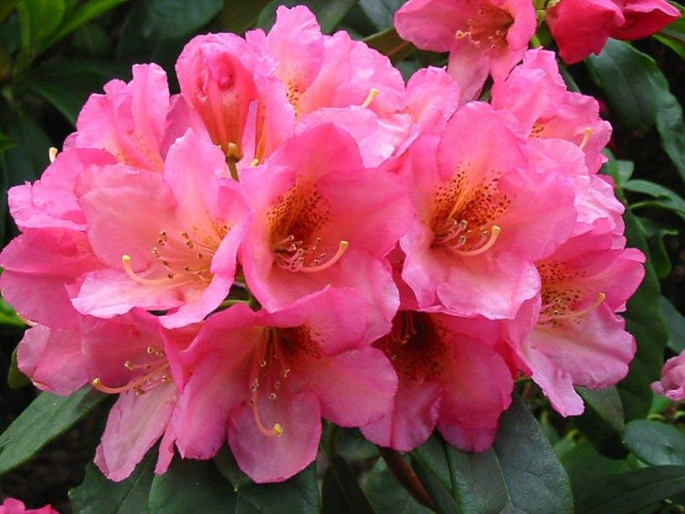 rhododendron hybride 39 saltarello 39 baumschule nielsen. Black Bedroom Furniture Sets. Home Design Ideas