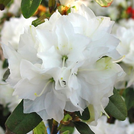 Rhododendron dauricum 'April Snow'