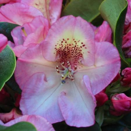 Rhododendron Hybride 'Felicitas'