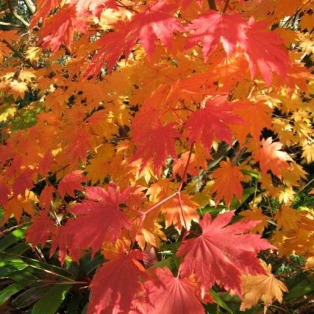 Acer japonicum 'Indian Summer'
