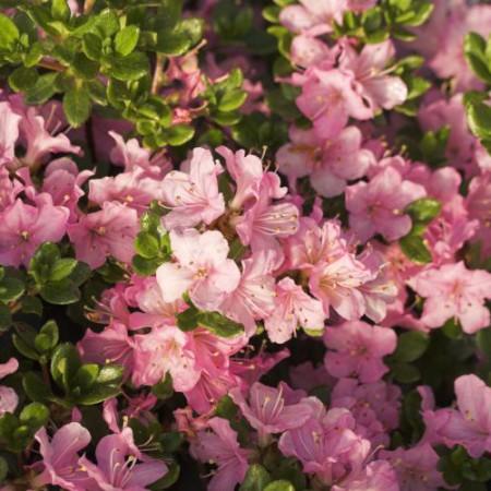 Rhododendron obtusum 'Betty Muir'