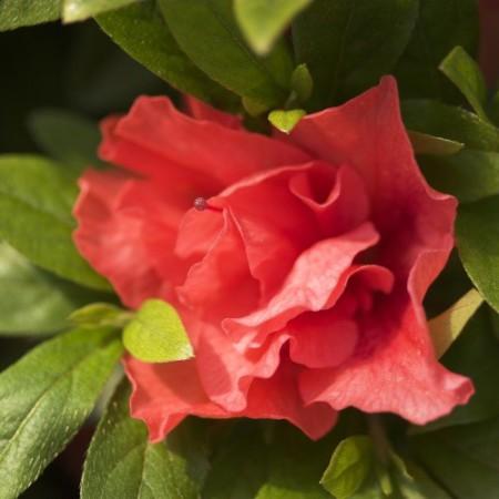 Rhododendron obtusum 'Cherie'