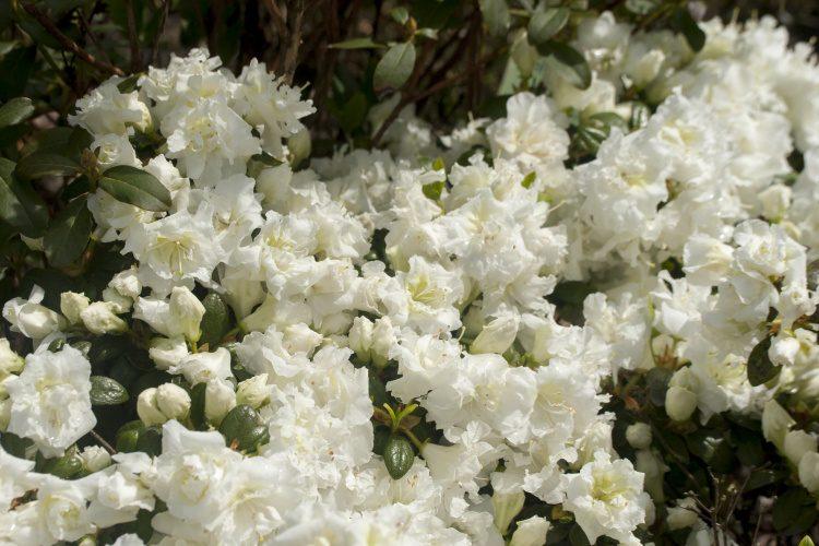 rhododendron obtusum eisprinzessin japanische azalee wei. Black Bedroom Furniture Sets. Home Design Ideas
