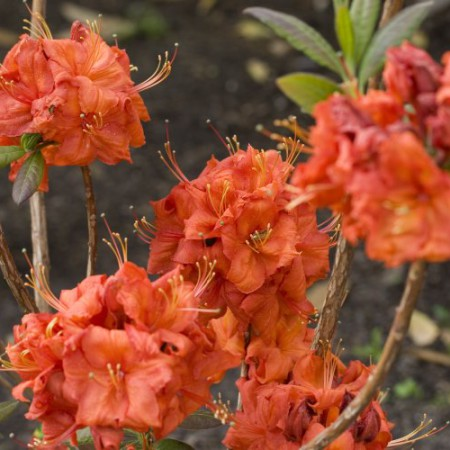 Rhododendron luteum 'Fireball'