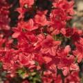 Rhododendron obtusum 'Fridoline'