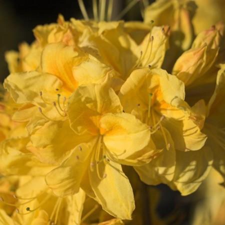 rhododendron luteum golden sunset garten azalee gelb. Black Bedroom Furniture Sets. Home Design Ideas