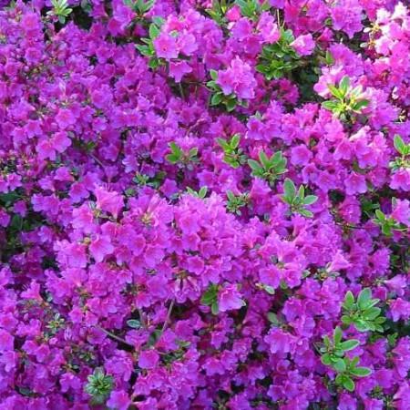Rhododendron obtusum 'Haruko'