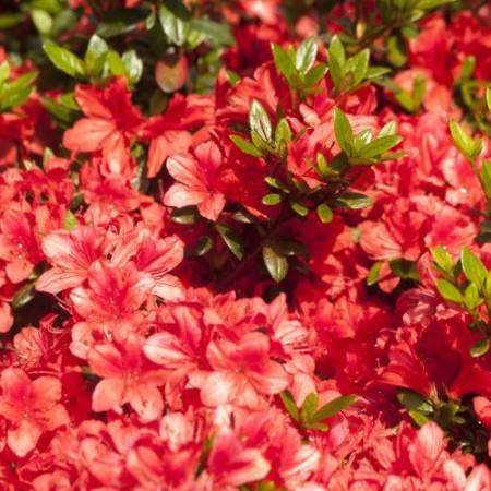 Rhododendron obtusum 'Juliette' ®