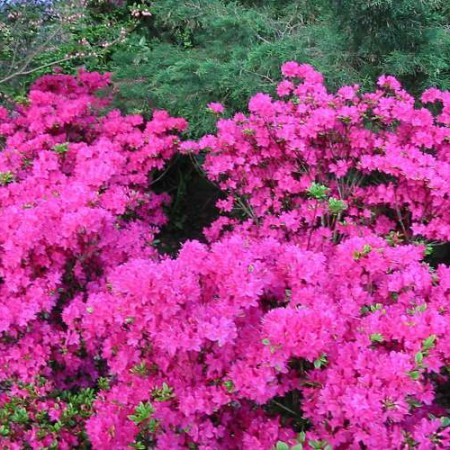 Rhododendron obtusum 'Kermesina'