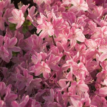 Rhdodendron obtusum 'Kermesina Rose'