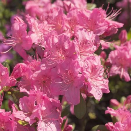 Rhododendron obtusum 'Kirstin'
