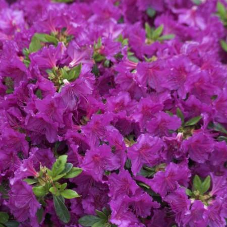 Rhododendron obtusum 'Königstein'