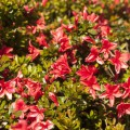Rhododendron obtusum 'Marilee'