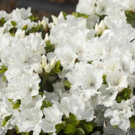 Rhododendron obtusum 'Panda'