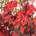 Rhododendron luteum 'Parkfeuer'