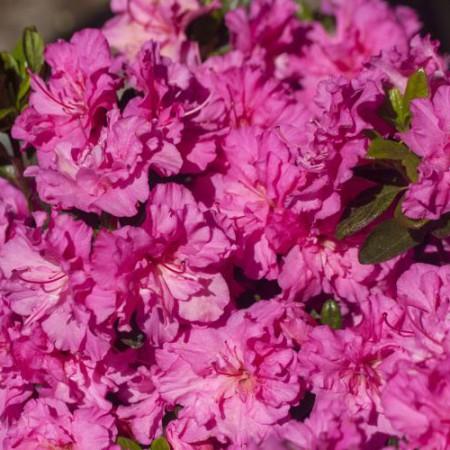 Rhododendron obtusum 'Petticoat' ®