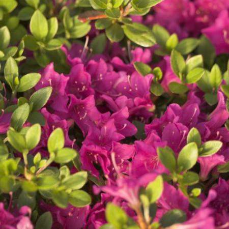 Rhododendron obtusum 'Purpurtraum'