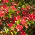 Rhododendron obtusum 'Satschiko'
