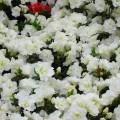 Rhododendron obtusum 'Schneeperle'