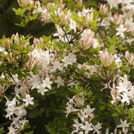 Rhododendron viscosum 'Sommerduft'