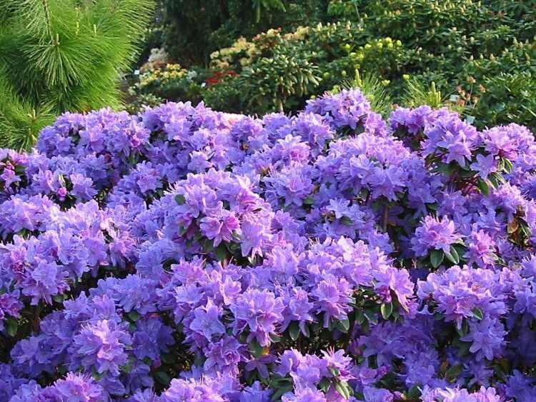 rhododendron augustinii 39 aquamarin 39 baumschule nielsen. Black Bedroom Furniture Sets. Home Design Ideas