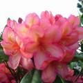 Rhododendron Hybride 'Balalaika'