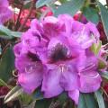 Rhododendron Hybride 'Bariton'