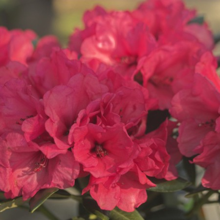 Rhododendron yakushimanum 'Karminkissen'