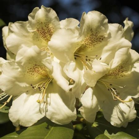 Rhododendron Hybr. 'Maharani'