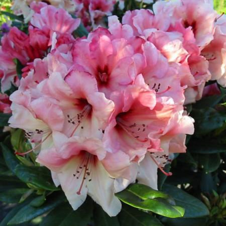 Rhododendron yakushimanum 'Marrakesch'