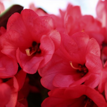 Rhododendron neriiflorum 'Burletta'