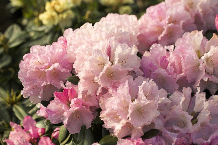rhododendron yakushimanum 39 silberwolke 39 baumschule nielsen. Black Bedroom Furniture Sets. Home Design Ideas