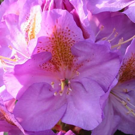 Rhododendron Hybride 'Blutopia'