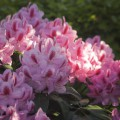 Rhododendron Hybride 'Furnivall´s Daughter'