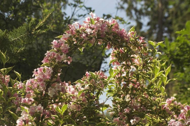 Japanisches Flächenmaß weigela florida nana variegata weigelie baumschule nielsen