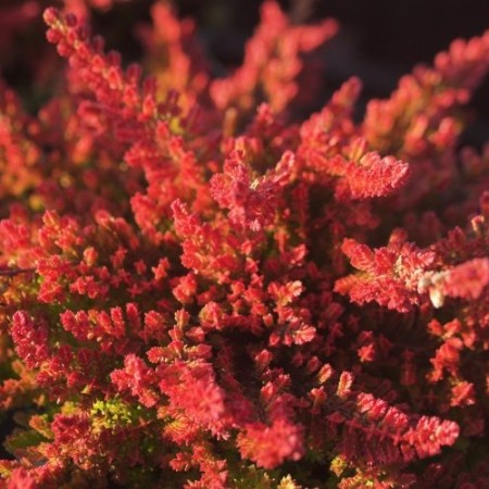 Calluna vulgaris 'Seestern'